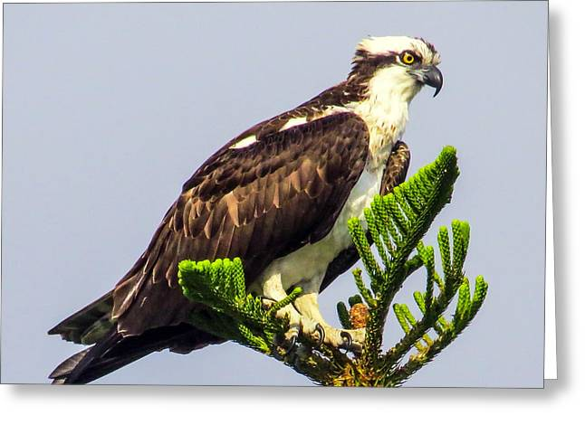 Hunting Bird Greeting Cards - Osprey Greeting Card by Zina Stromberg