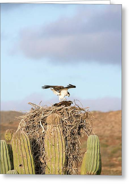 Ospreys Nesting In A Cactus Greeting Card by Christopher Swann