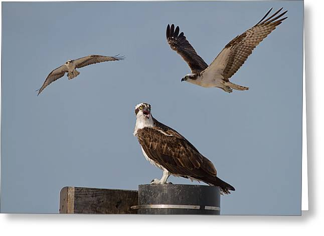 Osprey's Three Greeting Card by Kim Hojnacki