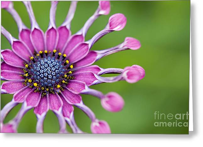Osteospermum Astra 'purple Spoon' Greeting Card by Tim Gainey