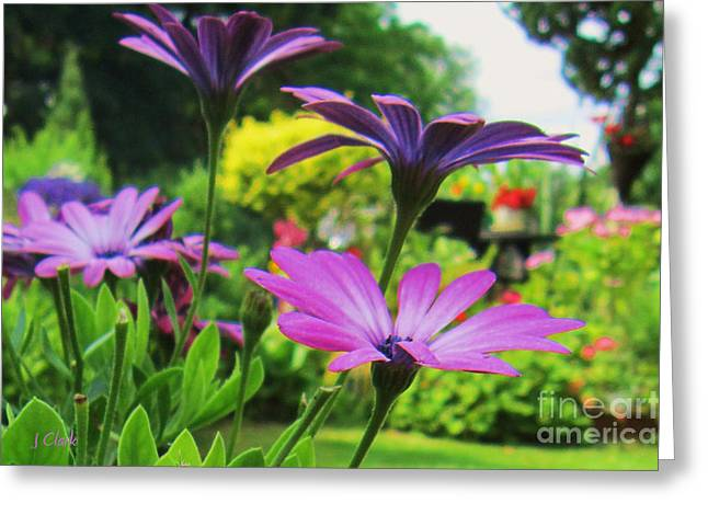 Osteospermum  Greeting Card by John Clark