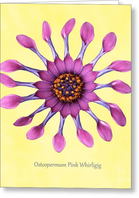 Whirligig Greeting Cards - Osteospermum pink Whirligig Greeting Card by Archie Young
