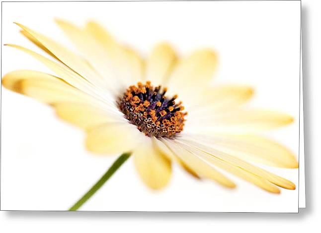 Sun Room Digital Art Greeting Cards - Osteospermum Sunny Flower I Greeting Card by Natalie Kinnear