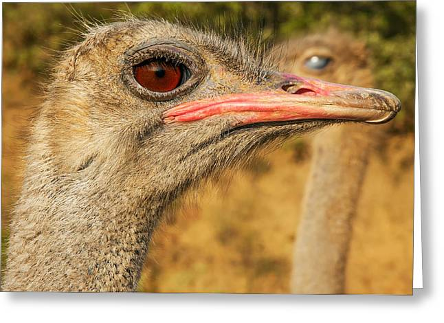 Ostrich Feathers Photographs Greeting Cards - Ostrich Closeup Greeting Card by Jess Kraft