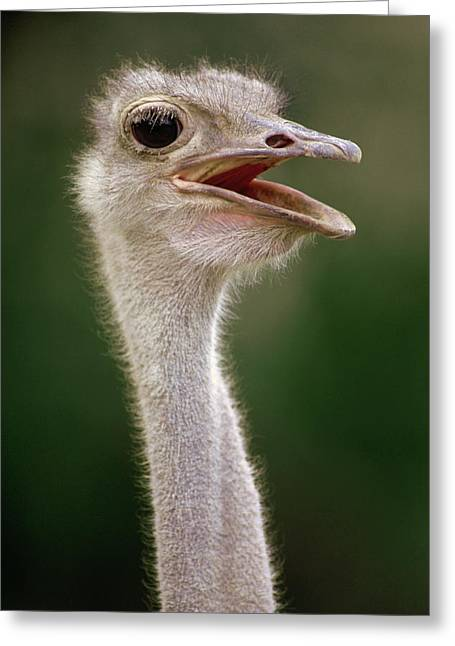 Gerry Greeting Cards - Ostrich  East Africa Greeting Card by Gerry Ellis