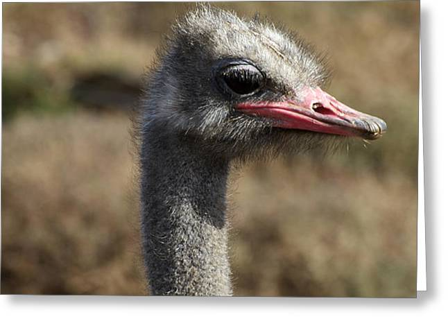 Ostrich Eye Greeting Card by Graham Palmer