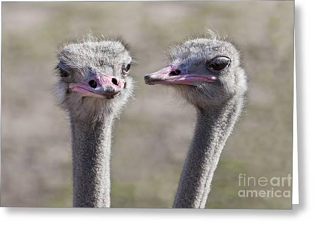 Flightless Greeting Cards - Ostrich Gossip Greeting Card by Brandon Alms