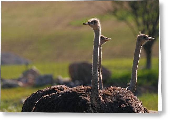 Ostriches Greeting Card by Dan Sproul
