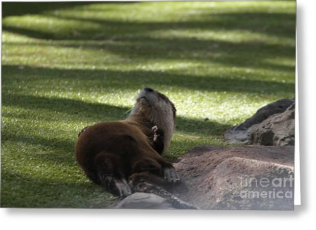 Bearizona Greeting Cards - Otter  Greeting Card by Cooper Staton