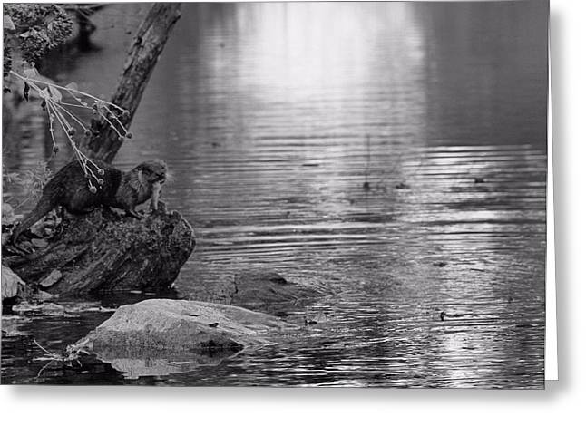 Reflections In River Greeting Cards - Otters Catch In Black And White Greeting Card by Dan Sproul