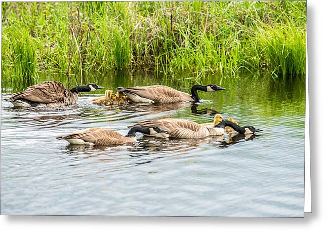 Gaggle Greeting Cards - Out For A Swim Greeting Card by Paul Freidlund
