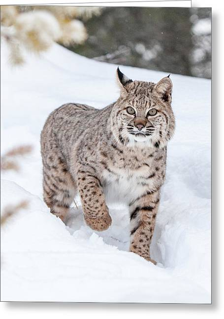 Bobcat Greeting Cards - Out for a Walk in the Snow Greeting Card by Sandy Brooks