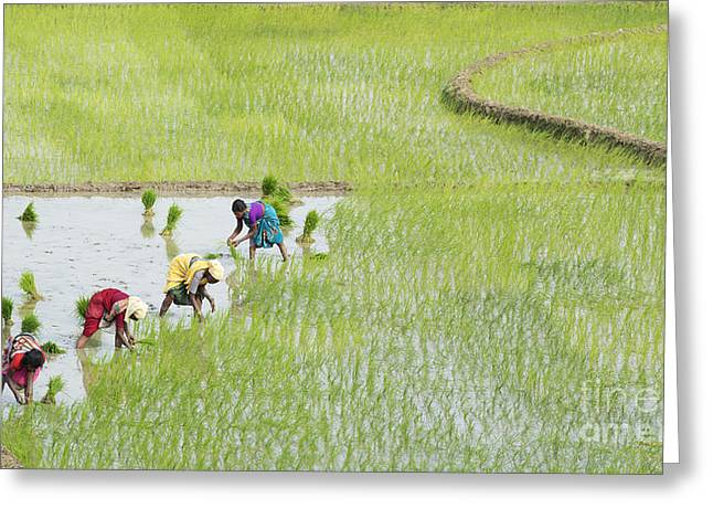 Asian Workers Greeting Cards - Out in the Fields Greeting Card by Tim Gainey