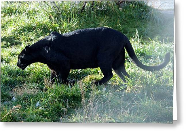 Out Of Africa Greeting Cards - Out of Africa  Black Panther Greeting Card by Phyllis Spoor