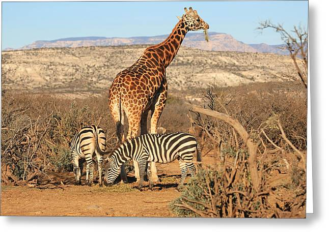 Out Of Africa Greeting Cards - Out Of Africa Greeting Card by Donna Kennedy