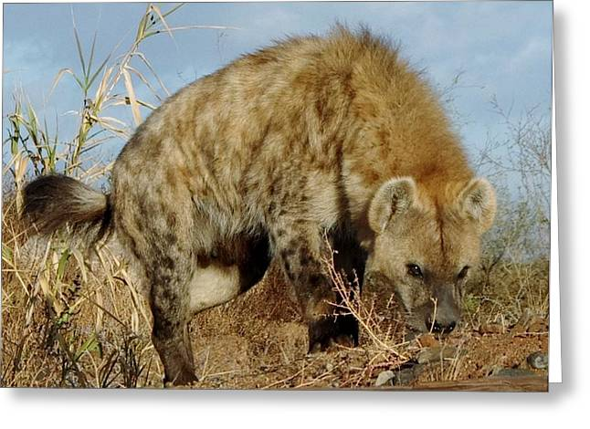 Out Of Africa Greeting Cards - Out of Africa Hyena 1 Greeting Card by Phyllis Spoor