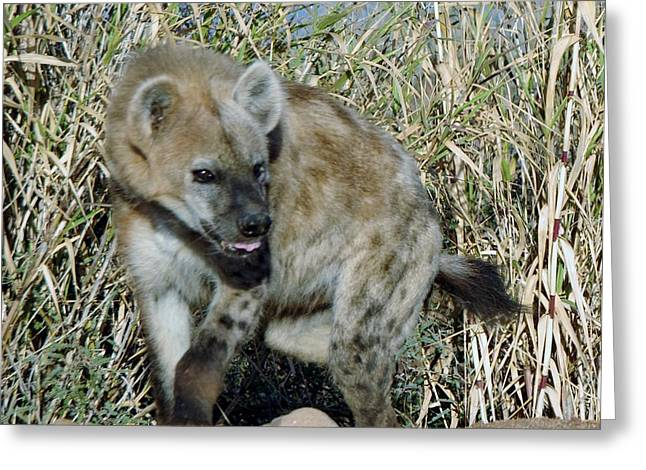 Out Of Africa Greeting Cards - Out of Africa  Hyena 2 Greeting Card by Phyllis Spoor