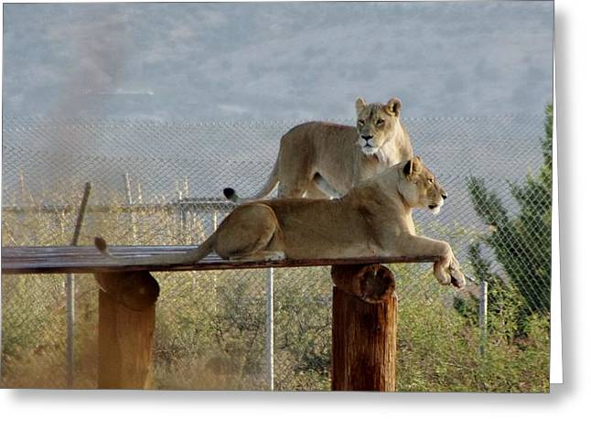 Out Of Africa Greeting Cards - Out of Africa Lions Greeting Card by Phyllis Spoor