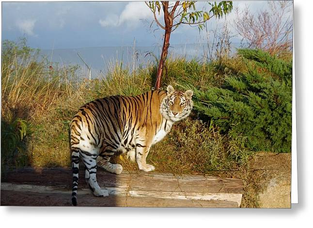Out Of Africa Greeting Cards - Out of Africa  Tiger 1 Greeting Card by Phyllis Spoor