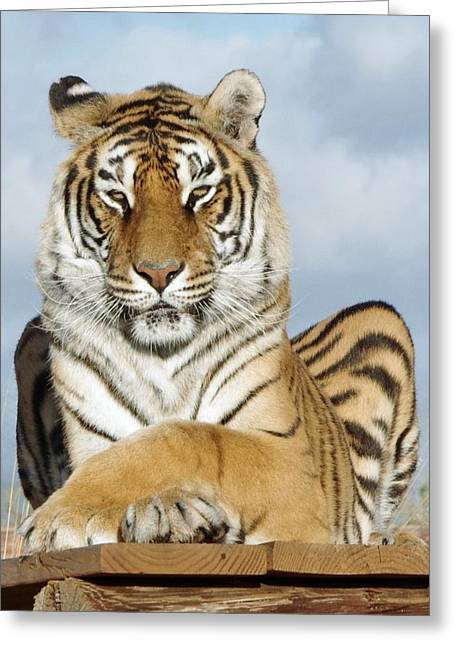Out Of Africa Greeting Cards - Out of Africa Tiger 3 Greeting Card by Phyllis Spoor