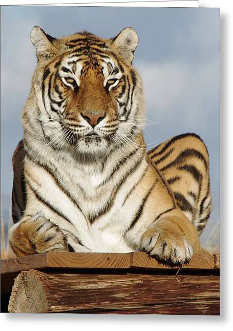 Out Of Africa Greeting Cards - Out of Africa Tiger 4 Greeting Card by Phyllis Spoor