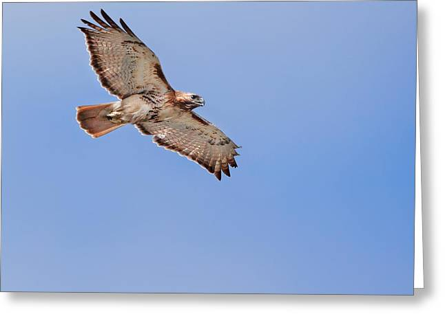 Redtail Hawks Greeting Cards - Out Of The Blue Square Greeting Card by Bill  Wakeley