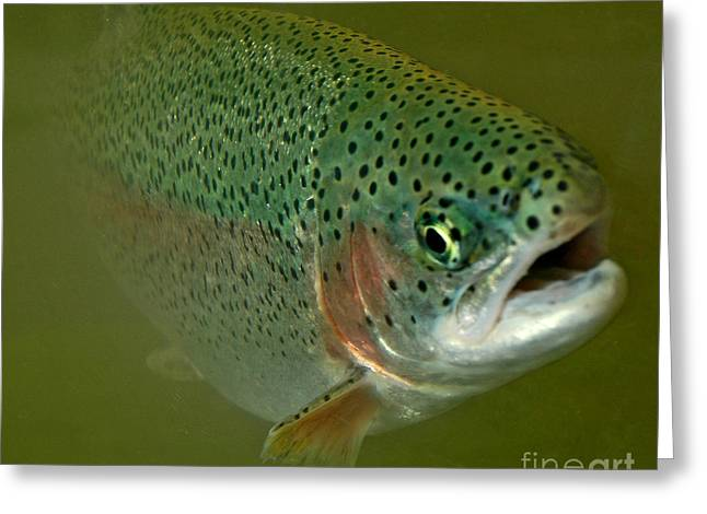 Rainbow Trout Greeting Cards - Out Of The Deep Greeting Card by Nick  Boren