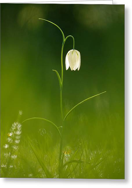 Fritillaria Greeting Cards - Out of the Green Greeting Card by Roeselien Raimond