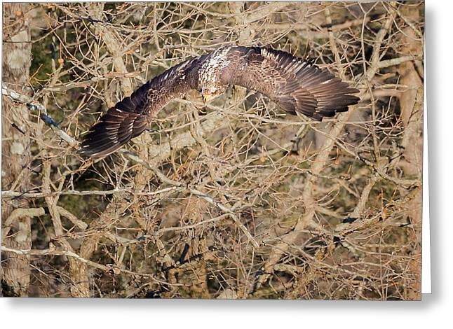Eagle In Flight Greeting Cards - Out Of The Tree Greeting Card by Bill Wakeley