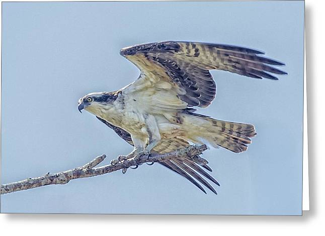 Hunting Bird Greeting Cards - Out On A limb Greeting Card by Constantine Gregory