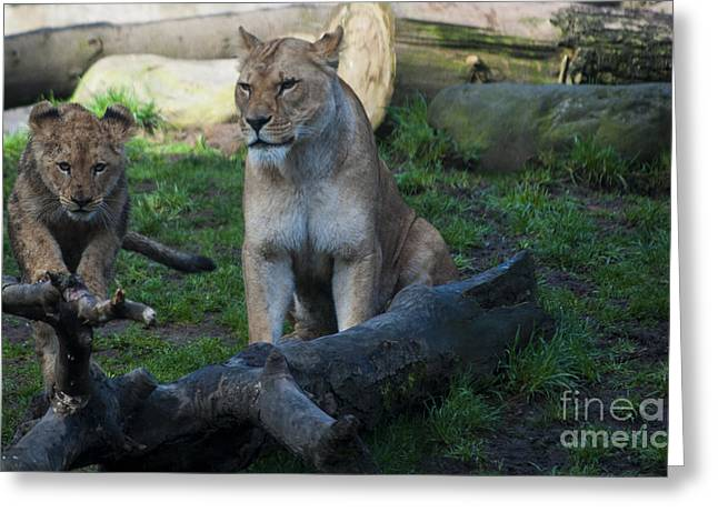Lion Greeting Cards - Out on a Limb Greeting Card by Mandy Judson