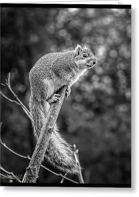 Wild Orchards Greeting Cards - Out on a Limb Squirrel Greeting Card by LeeAnn McLaneGoetz McLaneGoetzStudioLLCcom