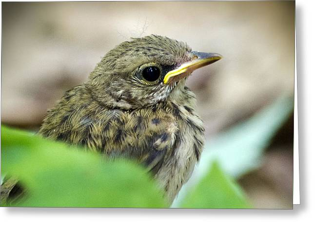 Ovenbird Chick Greeting Card by Christina Rollo