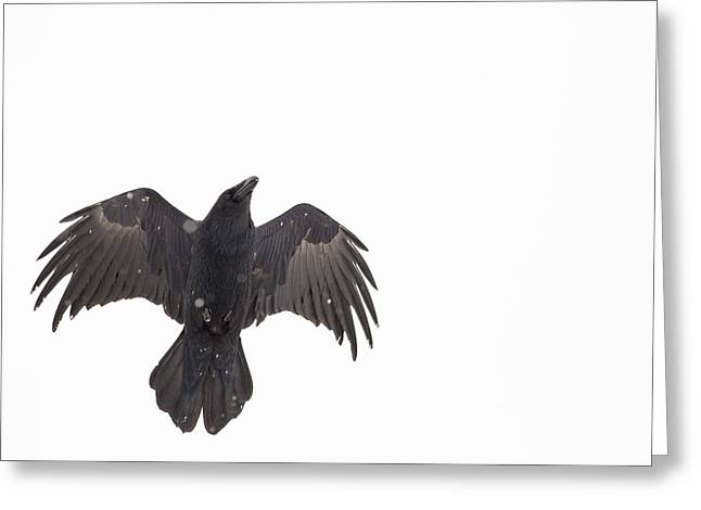 Corvus Corax Greeting Cards - Over Head Wing Flap Greeting Card by Tim Grams