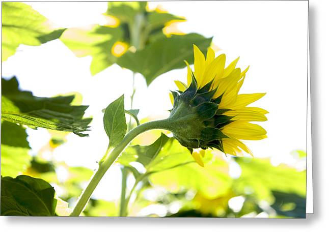 Overexposed Greeting Cards - Overexposed sunflower Greeting Card by Bernard Jaubert