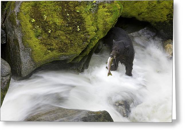 Fishing Creek Greeting Cards - Overhead View Of A Black Bear Catching Greeting Card by John Hyde
