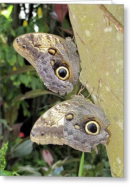 Butterfly Prey Greeting Cards - Owl Butterflies Greeting Card by Bob Slitzan