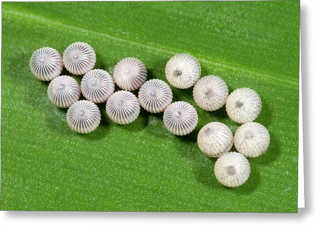 Owl Butterfly Egg Cluster Greeting Card by Nigel Downer
