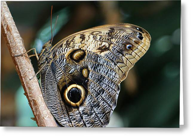 Cocoon Greeting Cards - Owl Butterfly Greeting Card by Kathy Krause