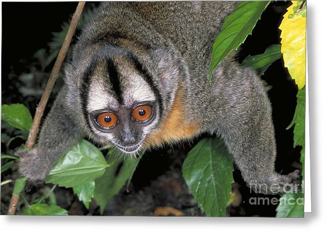 Wildlife In Captivity Greeting Cards - Owl Monkey In Iquitos, Peru Greeting Card by Gregory G. Dimijian