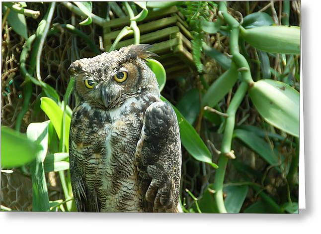 Amimal Greeting Cards - Owl Portrait 3 Greeting Card by Aimee L Maher Photography and Art