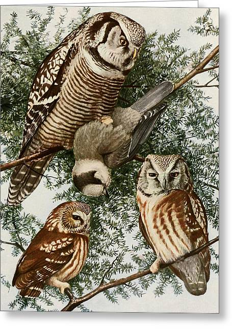 1874 Greeting Cards - Owls Greeting Card by Louis Agassiz Fuertes