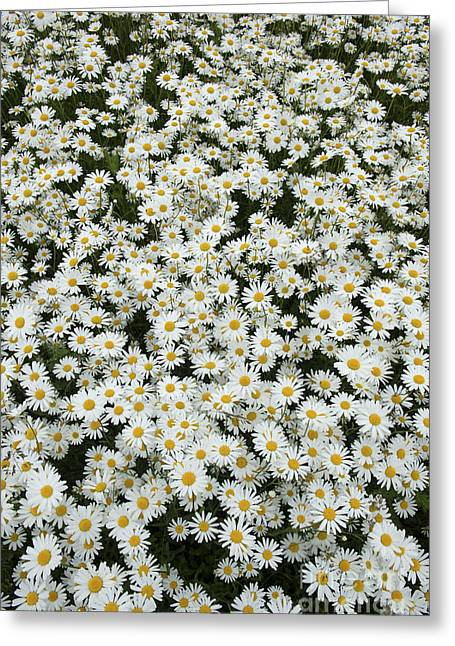White Daisy Greeting Cards - Oxeye Daises Greeting Card by Tim Gainey
