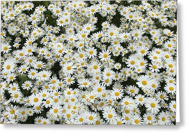 Oxeye Daises Greeting Card by Tim Gainey