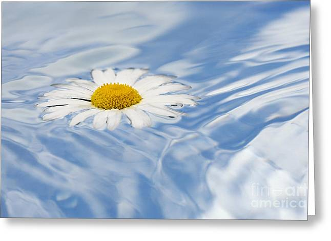 Daises Greeting Cards - Oxeye Daisy Floating on Water Greeting Card by Tim Gainey