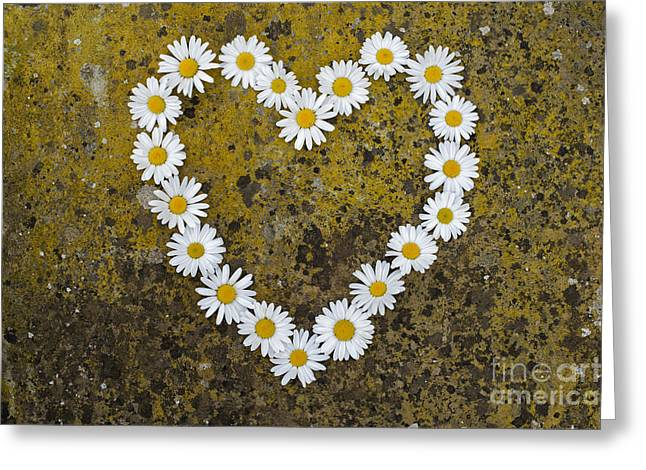 Luv Greeting Cards - Oxeye Daisy Heart Greeting Card by Tim Gainey
