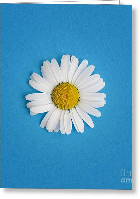 Midsummer Greeting Cards - Oxeye Daisy Square Blue Greeting Card by Tim Gainey