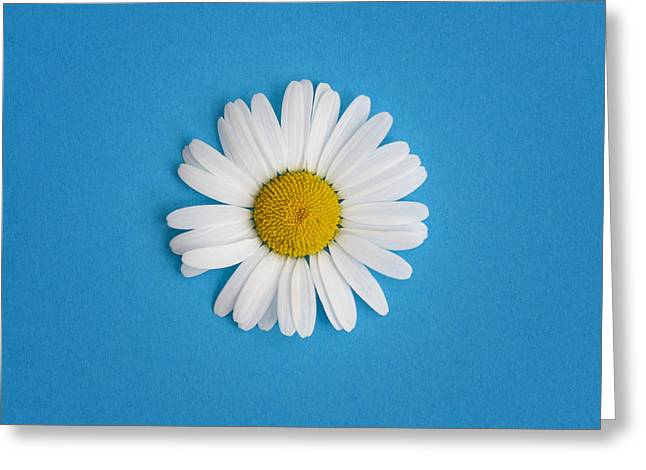 White Daises Greeting Cards - Oxeye Daisy Square Blue Greeting Card by Tim Gainey
