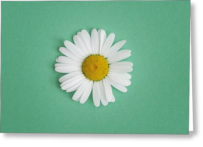 Midsummer Greeting Cards - Oxeye Daisy Square Green Greeting Card by Tim Gainey