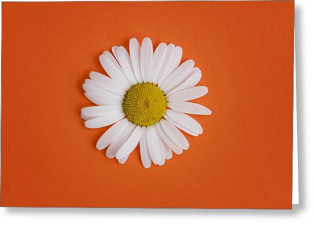 Moon Flower Greeting Cards - Oxeye Daisy Square Orange Greeting Card by Tim Gainey